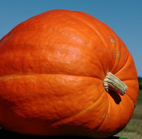 yunus pumpkin